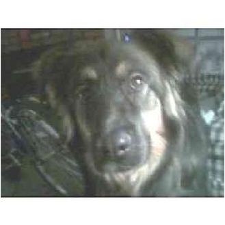 German Shepherd Dog Dog for adoption in Bloomsburg, Pennsylvania - Destiny