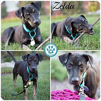 Labrador Retriever/Hound (Unknown Type) Mix Puppy for adoption in Kimberton, Pennsylvania - zelda
