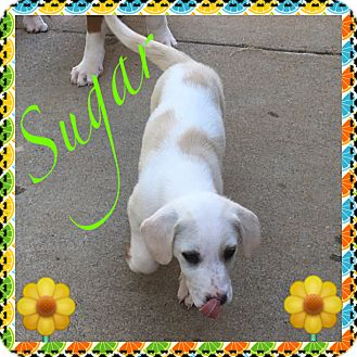 Boxer Mix Puppy for adoption in siler city, North Carolina - Sugar