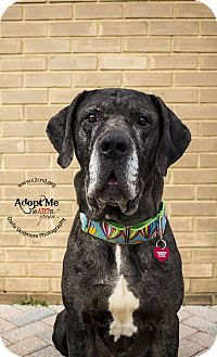 Mastiff/Great Dane Mix Dog for adoption in Charlotte, North Carolina - Sherman 2.0