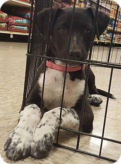 Cattle Dog Puppy for adoption in Westminster, Colorado - McKenzie