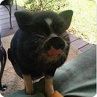 Adopt A Pet :: Chai Digs - Asheville, NC