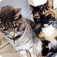 Calico Cat for adoption in Long Beach, California - Mala