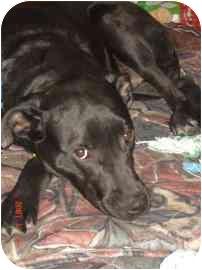 Labrador Retriever/American Pit Bull Terrier Mix Dog for adoption in Calgary, Alberta - Lucky