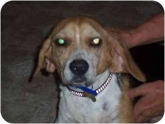 Beagle Dog for adoption in Ventnor City, New Jersey - ZIPPY