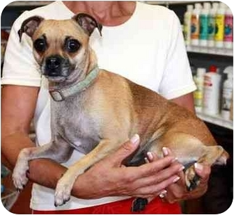 Chihuahua/Pug Mix Dog for adoption in Coral Springs, Florida - LuLu