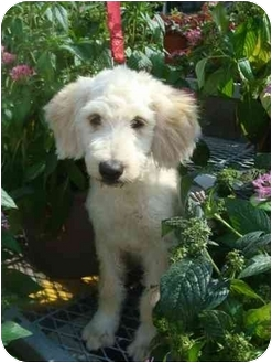 Labradoodle Mix Puppy for adoption in Sugarland, Texas - Buster