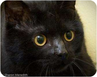 Domestic Shorthair Cat for adoption in Dayton, Ohio - Spanky