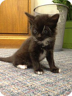 Domestic Mediumhair Kitten for adoption in Baton Rouge, Louisiana - Whiskers