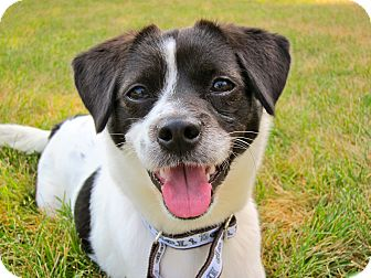 Terrier (Unknown Type, Small)/English Springer Spaniel Mix Dog for adoption in South Plainfield, New Jersey - Lulu