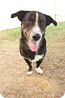 Basset Hound/Corgi Mix Dog for adoption in Pilot Point, Texas - OAKLEY