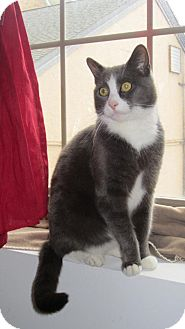 Domestic Shorthair Cat for adoption in Little Falls, New Jersey - Oliver (MC)