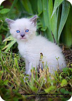 Siamese Kitten for adoption in San Antonio, Texas - Stretch