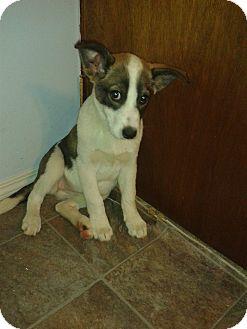 Collie/Shepherd (Unknown Type) Mix Puppy for adoption in Saskatoon, Saskatchewan - Jessica Day
