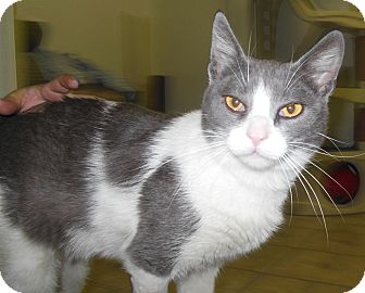 Domestic Shorthair Cat for adoption in Phoenix, Arizona - Rudy