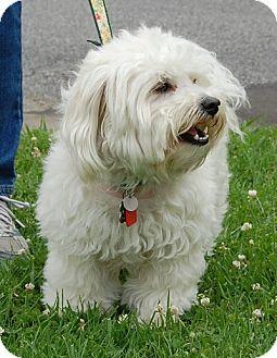 Poodle (Miniature)/Bichon Frise Mix Dog for adoption in West Los Angeles, California - Noodles