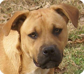 Boxer Mix Puppy for adoption in Allentown, Pennsylvania - Diva