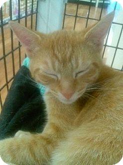 Domestic Mediumhair Kitten for adoption in Satellite Beach, Florida - Milo