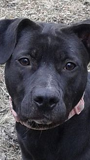 Labrador Retriever/Staffordshire Bull Terrier Mix Dog for adoption in Livonia, Michigan - Meka