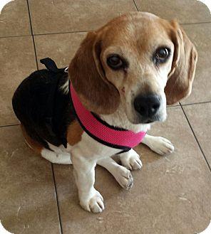 Beagle Dog for adoption in Valley Village, California - Chloe