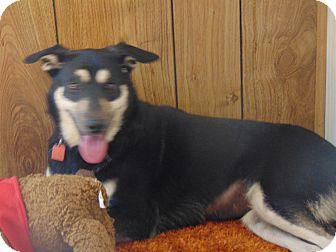 German Shepherd Dog Mix Dog for adoption in Portland, Maine - Minnie (Cat Friendly)