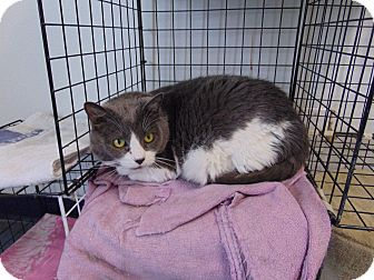 Domestic Shorthair Cat for adoption in Colorado Springs, Colorado - Ginger