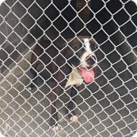 Adopt A Pet :: Bernadette - Bloomfield, CT