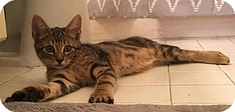 Domestic Shorthair Kitten for adoption in Gainesville, Florida - Barney