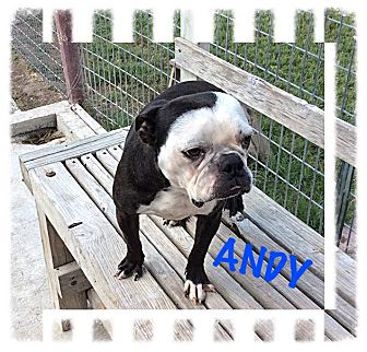 Boston Terrier Dog for adoption in Tempe, Arizona - Andy