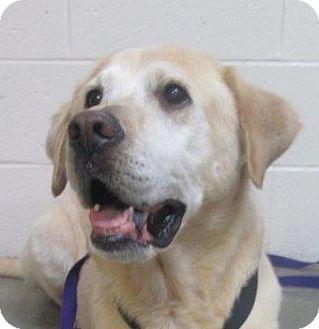 Labrador Retriever Mix Dog for adoption in LaGrange, Kentucky - Maverick