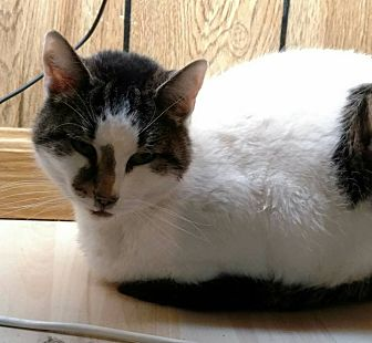 Domestic Shorthair Cat for adoption in Hanna City, Illinois - Kelly