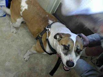 Australian Cattle Dog/Pit Bull Terrier Mix Dog for adoption in Paradise, California - SUGAR