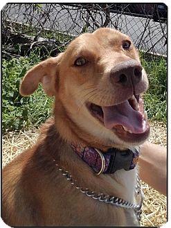 Hound (Unknown Type)/Retriever (Unknown Type) Mix Dog for adoption in LaGrange, Kentucky - GALLOWAY