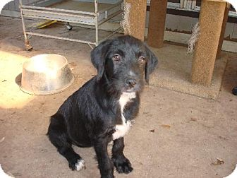 Standard Schnauzer/Labrador Retriever Mix Puppy for adoption in Pipe Creed, Texas - Krista