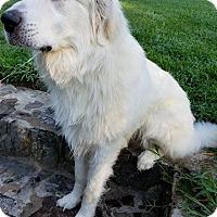 Adopt A Pet :: Bear - Sturbridge, MA
