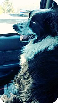 Border Collie Mix Dog for adoption in Salem, Oregon - Sparky