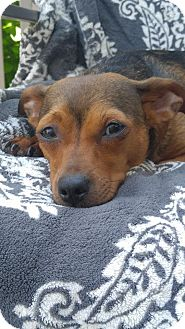 Miniature Pinscher/Chihuahua Mix Dog for adoption in Florence, Kentucky - Pria
