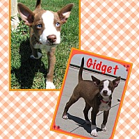 Adopt A Pet :: Gidget - Fort Wayne, IN