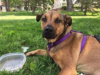 Labrador Retriever/Shepherd (Unknown Type) Mix Dog for adoption in St Paul, Minnesota - Millie