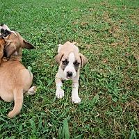 Adopt A Pet :: Puppies!! - Nashville, TN