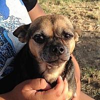 Adopt A Pet :: ZZ-Zoey *courtesy post - Rancho Santa Margarita, CA