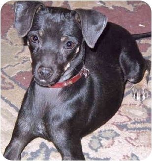 Miniature Pinscher Mix Puppy for adoption in Grass Valley, California - Bliss