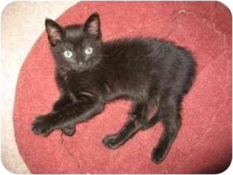 Domestic Shorthair Kitten for adoption in Nanaimo, British Columbia - MARIAH