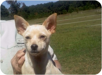 Chihuahua Puppy for adoption in Thomaston, Georgia - Juanita