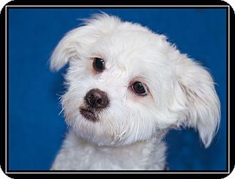 Maltese/Lhasa Apso Mix Dog for adoption in Fort Braff, California - Cherry