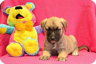 Labrador Retriever Mix Puppy for adoption in Salem, New Hampshire - Turquoise
