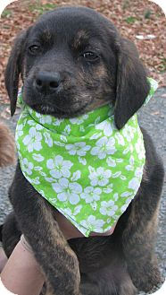 Boxer/German Shepherd Dog Mix Puppy for adoption in East Hartford, Connecticut - Holiday - ADOPTION PENDING