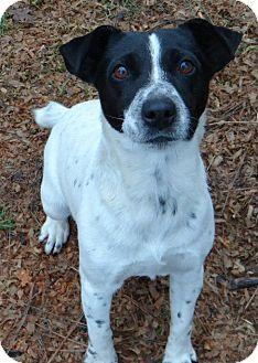 Jack Russell Terrier Dog for adoption in Salem, Oregon - Haley
