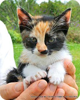 American Shorthair Kitten for adoption in Metairie, Louisiana - Destiny