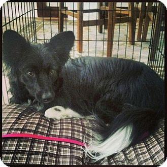 Australian Shepherd/Sheltie, Shetland Sheepdog Mix Dog for adoption in Washington, Illinois - Greta